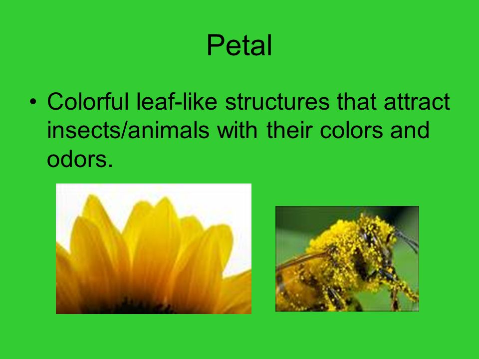 Petal Colorful leaf-like structures that attract insects/animals with their colors and odors.