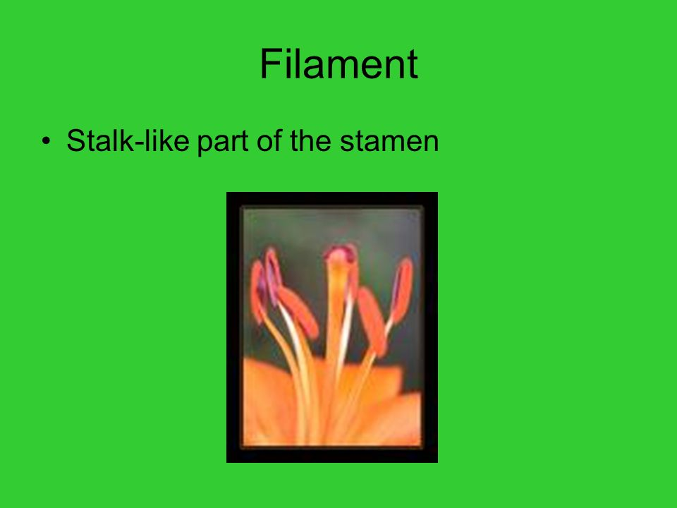 Filament Stalk-like part of the stamen
