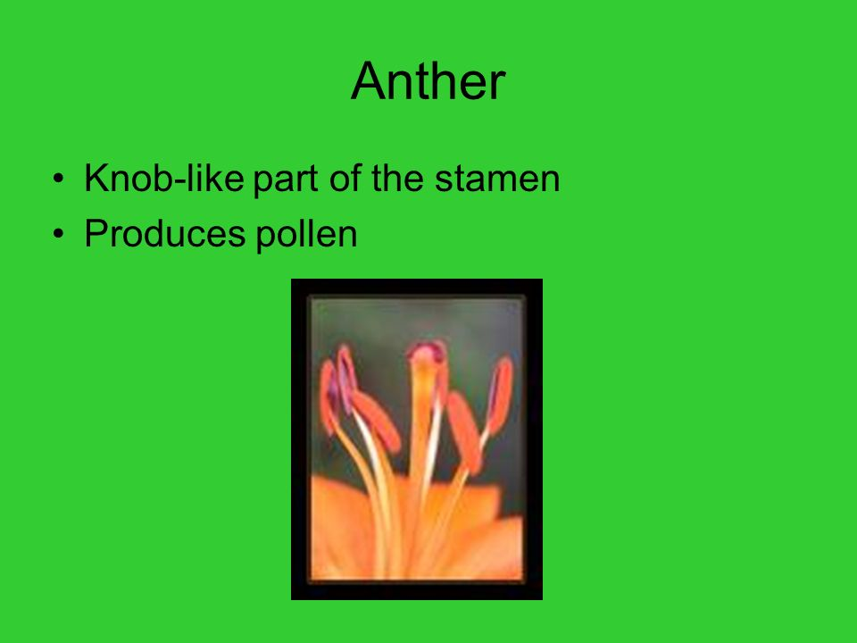 Anther Knob-like part of the stamen Produces pollen