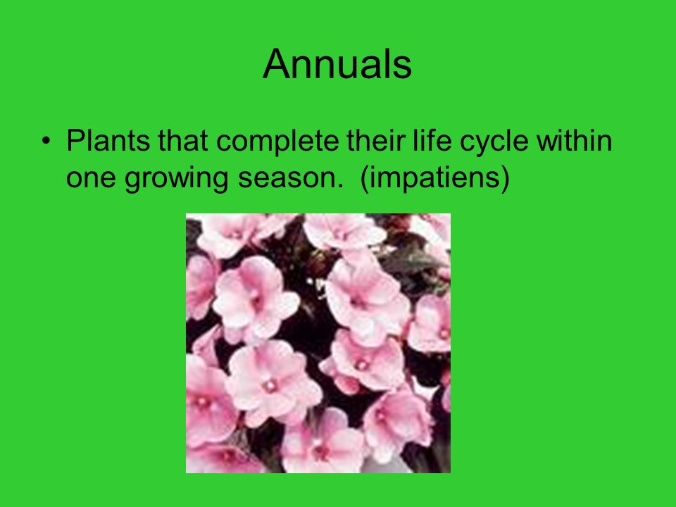 Annuals Plants that complete their life cycle within one growing season. (impatiens)