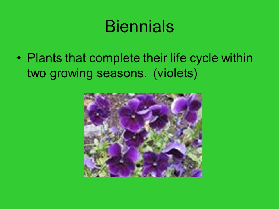 Biennials Plants that complete their life cycle within two growing seasons. (violets)