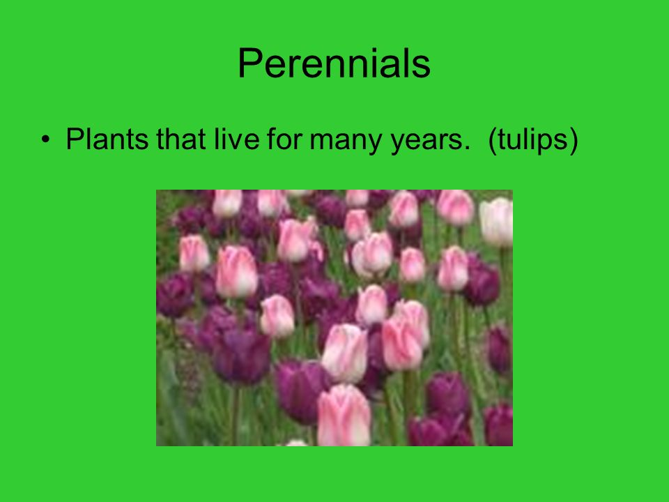 Perennials Plants that live for many years. (tulips)