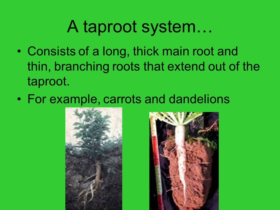 A taproot system… Consists of a long, thick main root and thin, branching roots that extend out of the taproot.