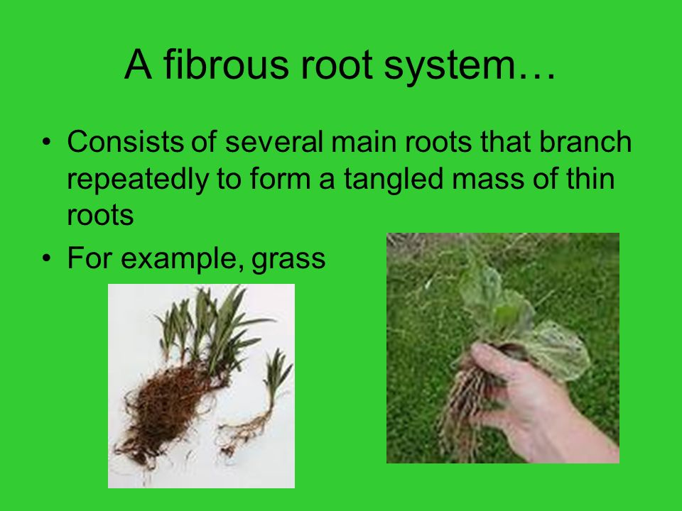 A fibrous root system… Consists of several main roots that branch repeatedly to form a tangled mass of thin roots.
