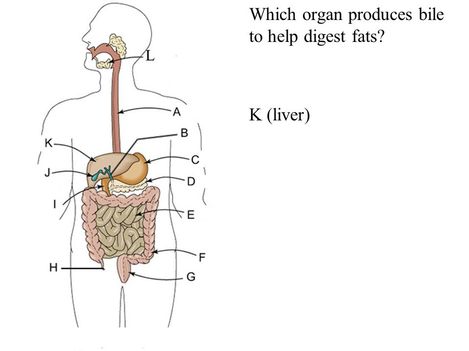 What Organ Produces Insulin >> The Digestive System Oral cavity Pharynx Esophagus Liver Stomach - ppt video online download