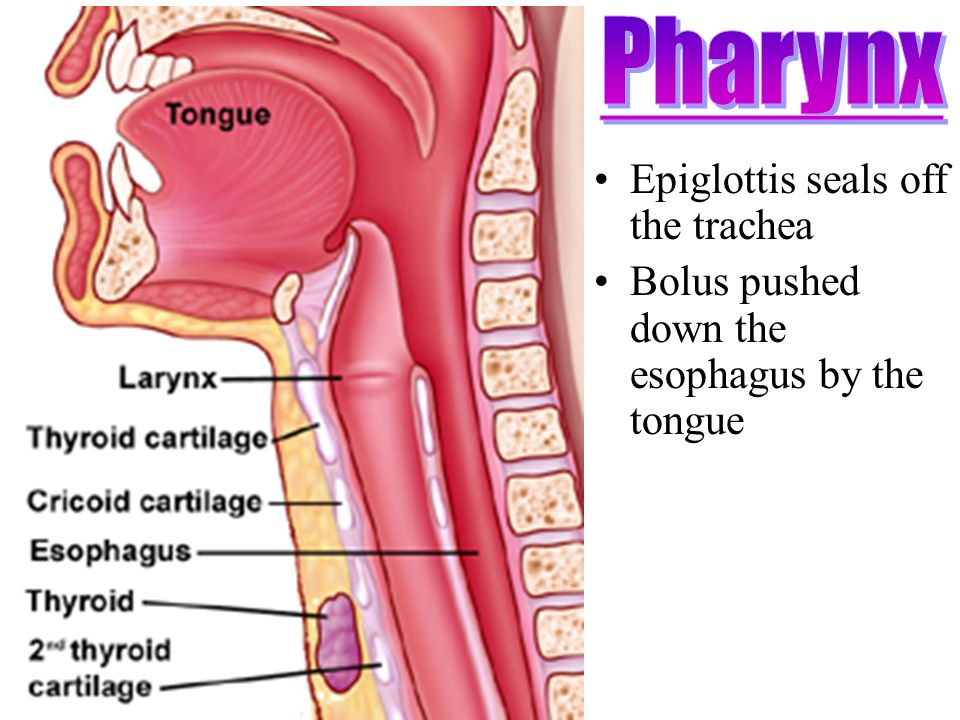Diagram Showing Esophagus And Trachea Wiring Diagrams Control