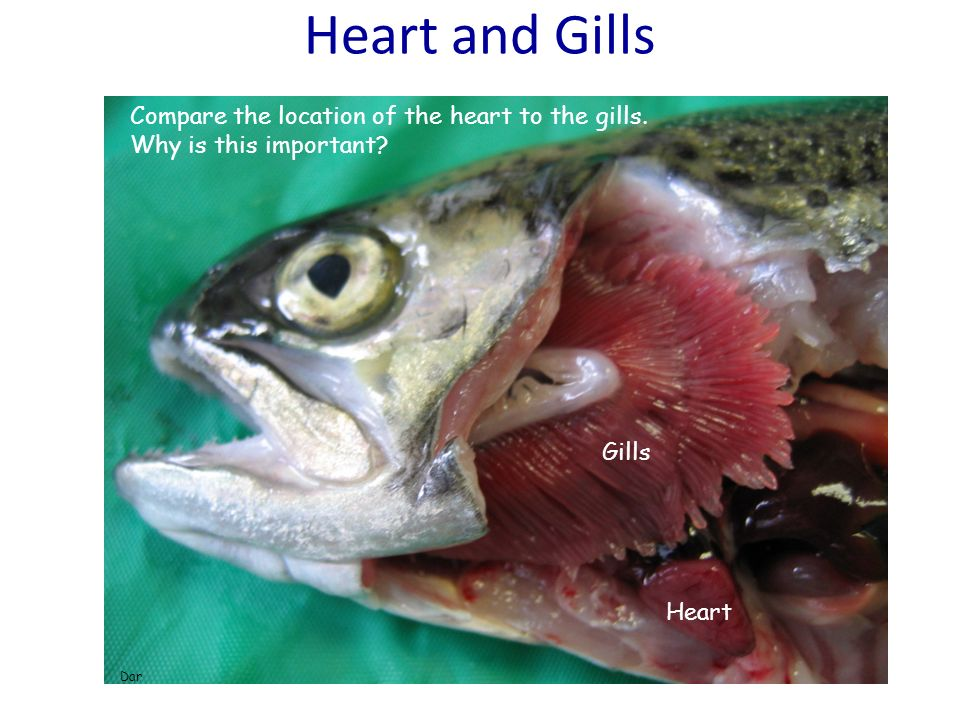 Heart and Gills Compare the location of the heart to the gills.