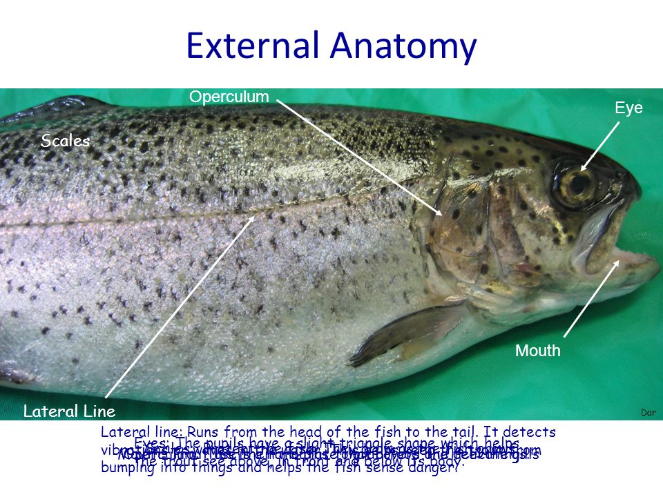 External Anatomy Operculum Eye Scales Mouth Lateral Line