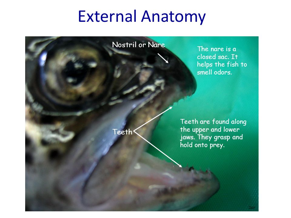 External Anatomy Nostril or Nare Teeth