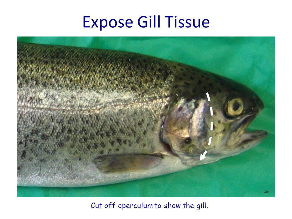 Expose Gill Tissue Dar Cut off operculum to show the gill.