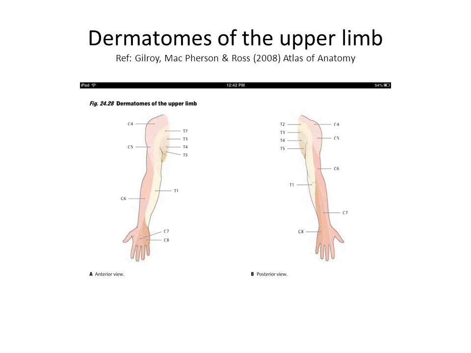 Nerve Supply of the Upper Limb - ppt video online download