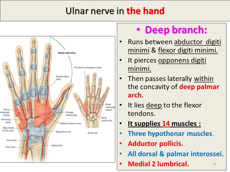Nerve Anatomy Hand Gallery - human body anatomy