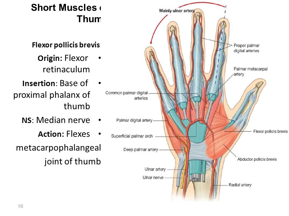 Structures on the Posterior Aspect of the Wrist - ppt download