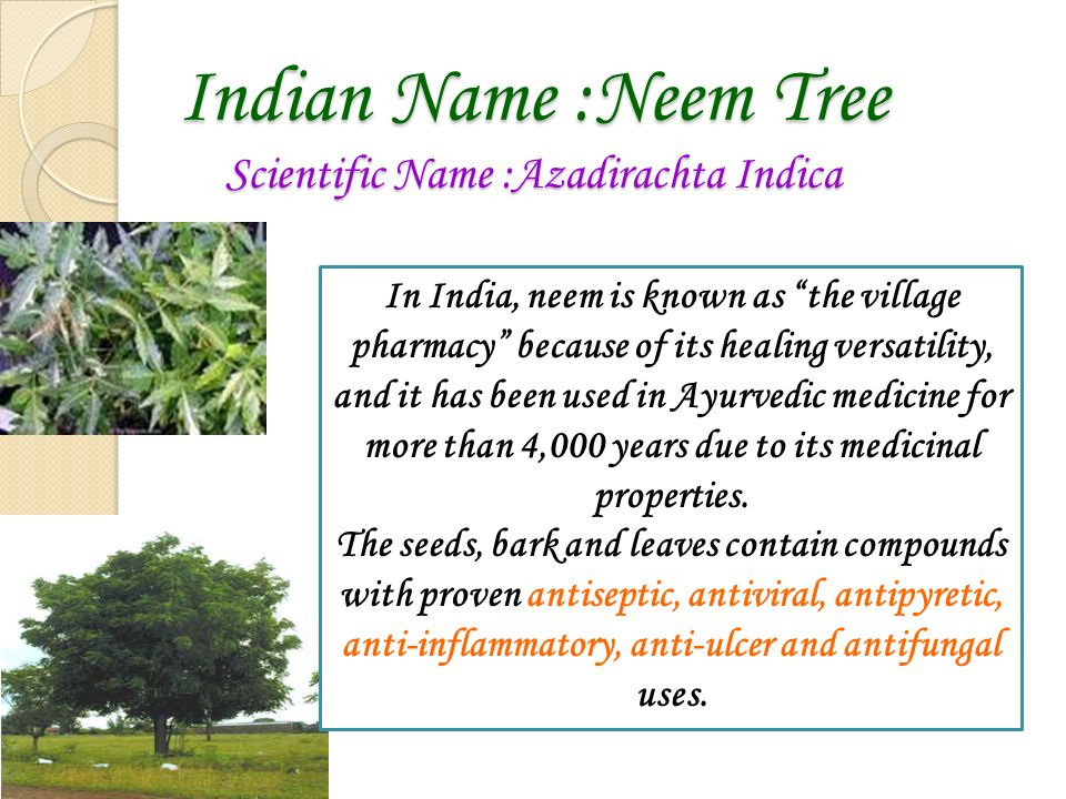 Indian Name :Neem Tree Scientific Name :Azadirachta Indica