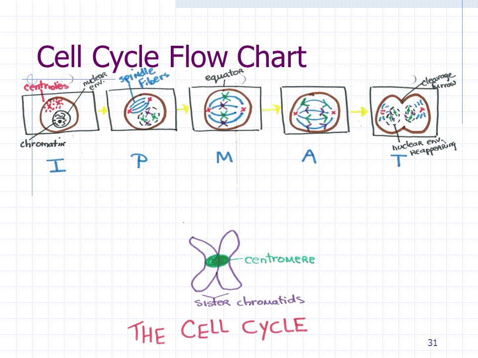 Chapter 10 Cell Growth And Division Ppt Video Online Download