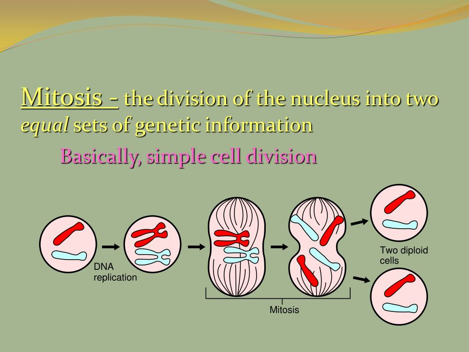 Mitosis - the division of the nucleus into two equal sets of genetic information