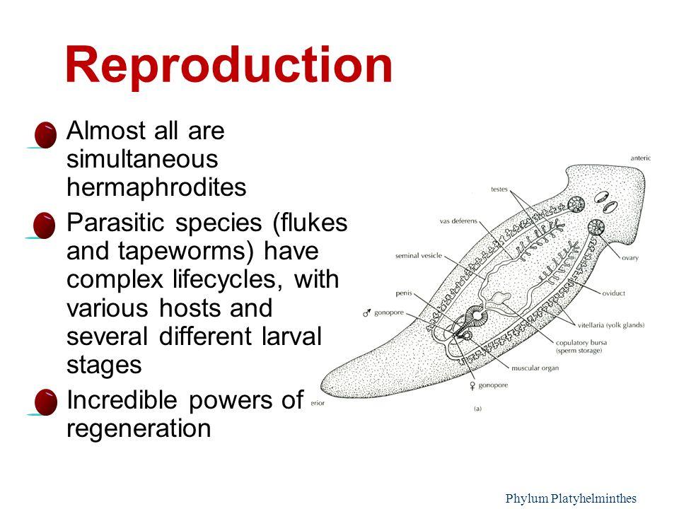 a laposférgek phylum platyhelminthes tulajdonságai