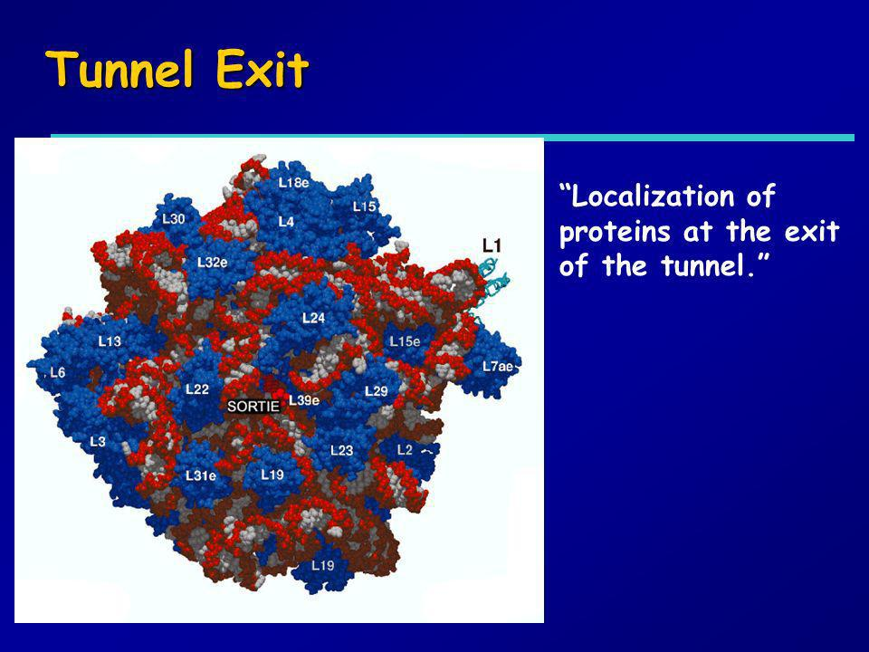 Tunnel Exit Localization of proteins at the exit of the tunnel.