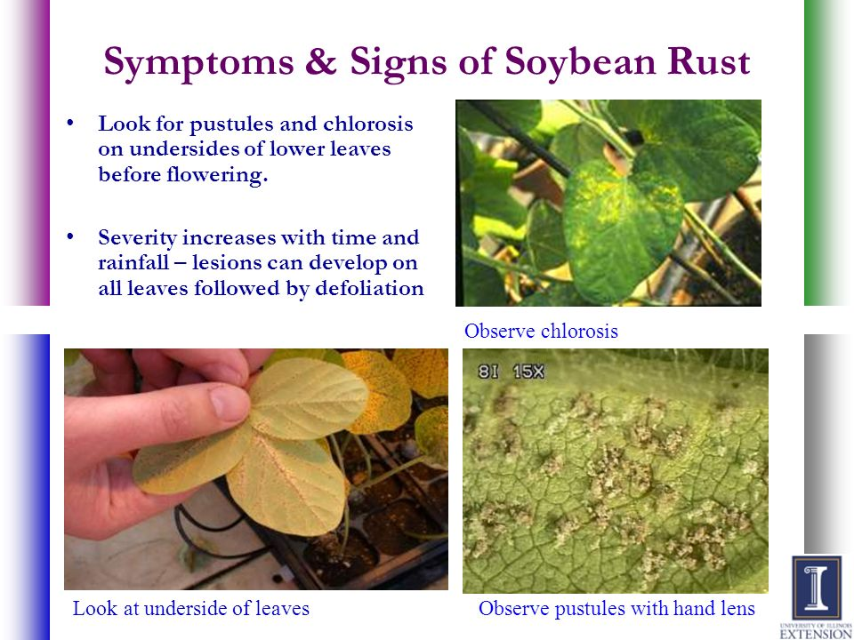 Symptoms & Signs of Soybean Rust
