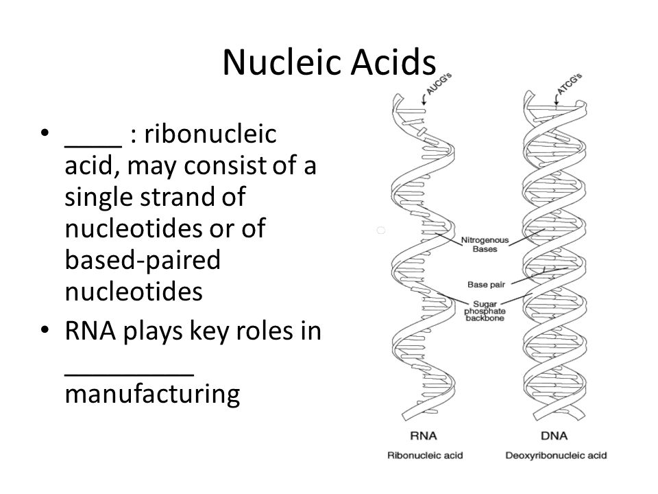 Nucleic Acids ____ : ribonucleic acid, may consist of a single strand of nucleotides or of based-paired nucleotides.