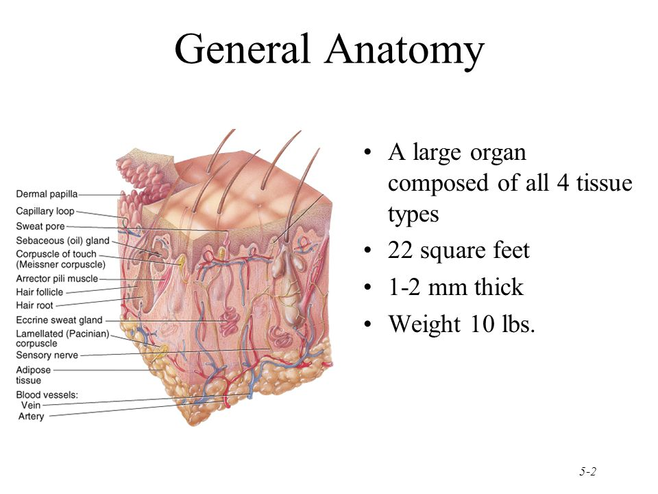 Chapter 5 The Integumentary System Ppt Download