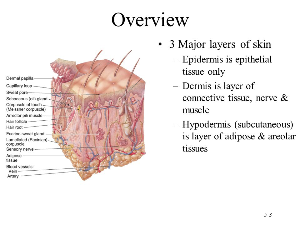 Chapter 5 The Integumentary System - ppt download