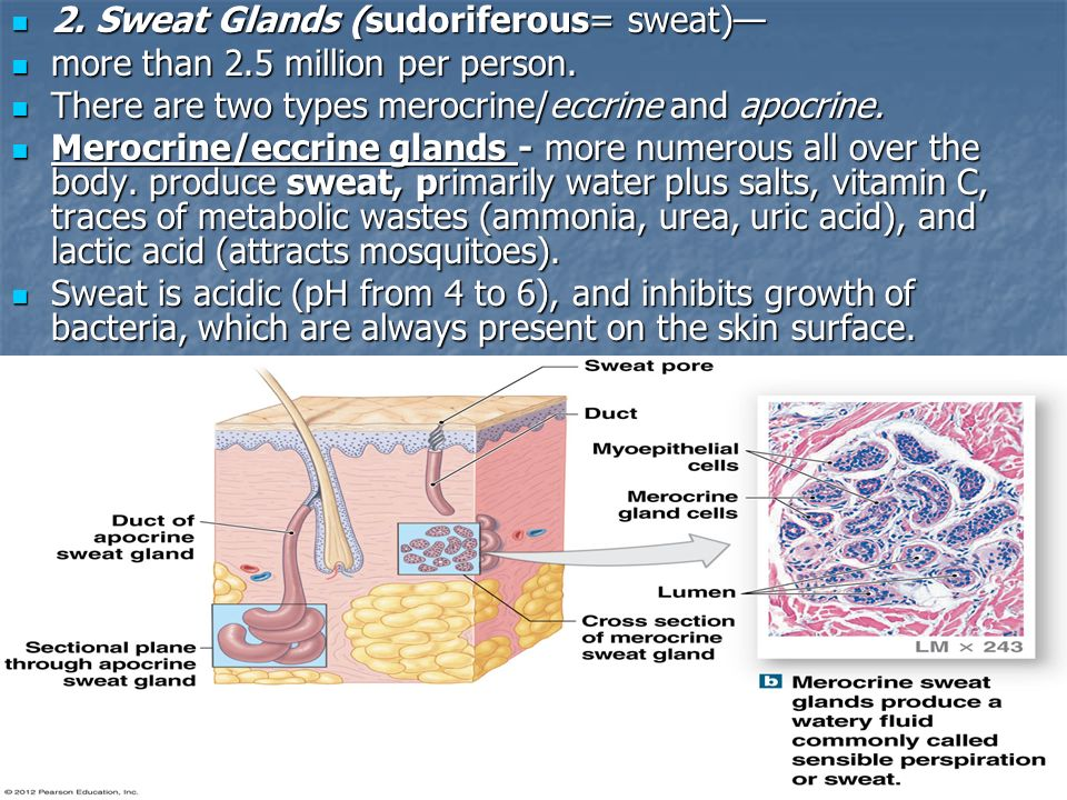 sensible perspiration is produced by ________ glands