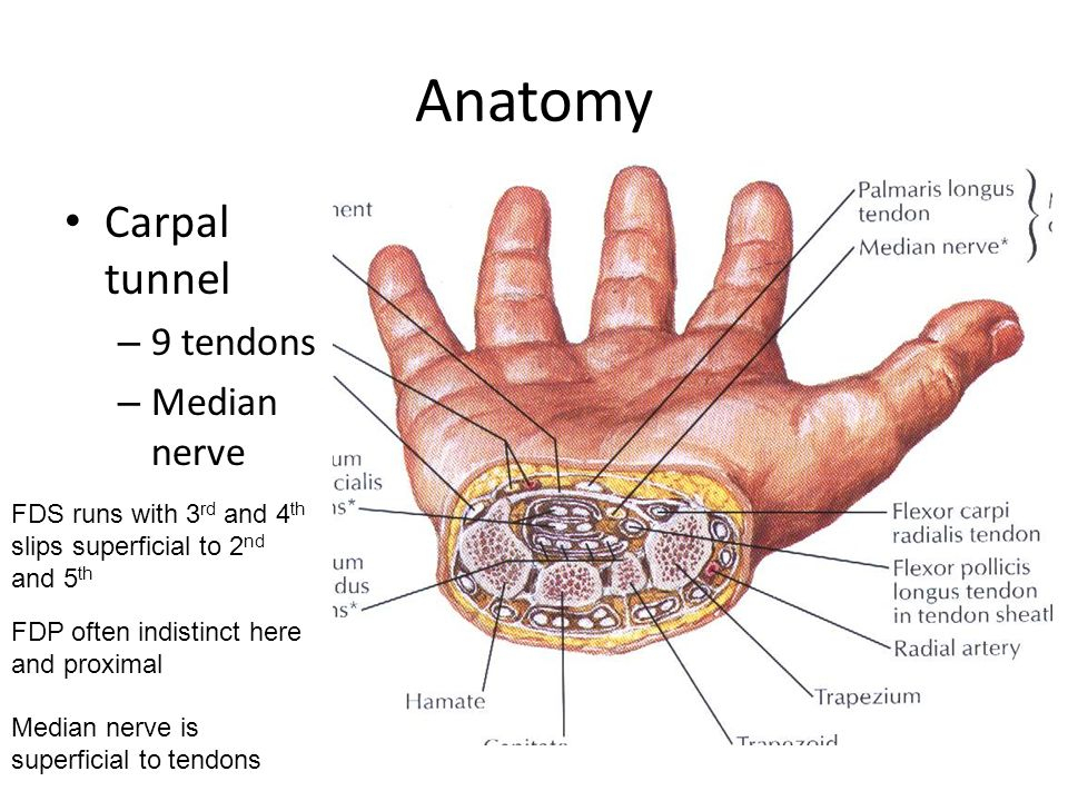 Exelent Flexor Tendon Anatomy Composition - Anatomy And Physiology ...