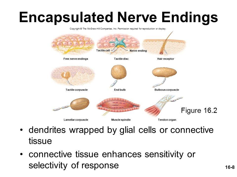 Sensation Properties And Types Of Sensory Receptors General Senses