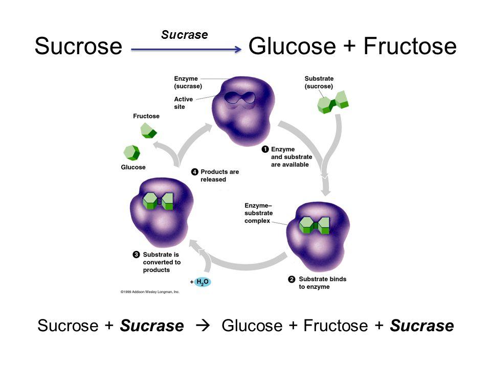 sucrose sucrase water sucrase glucose fructose