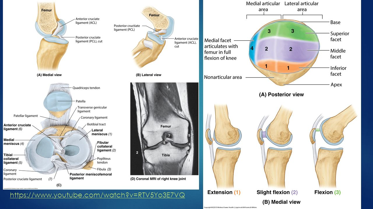 Thigh musculature, Knee and ankle osteology - ppt video online download