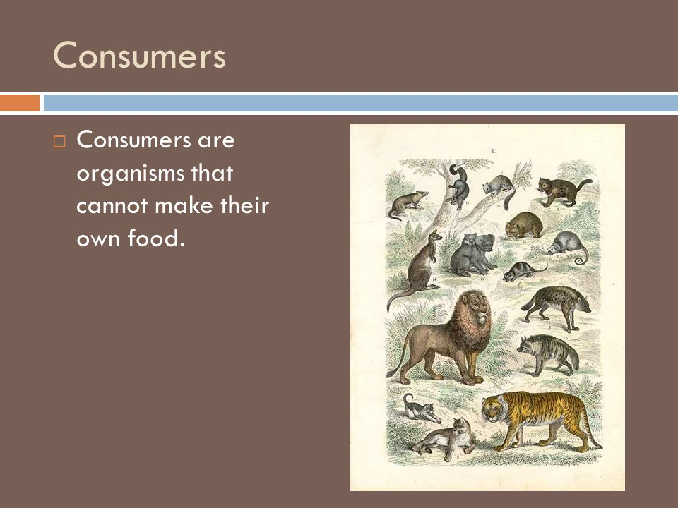 Consumers Consumers are organisms that cannot make their own food.
