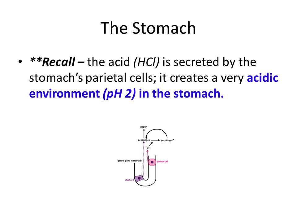 The Stomach **Recall – the acid (HCl) is secreted by the stomach's parietal cells; it creates a very acidic environment (pH 2) in the stomach.
