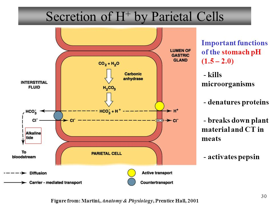 physiology of gastric acid secretion pdf