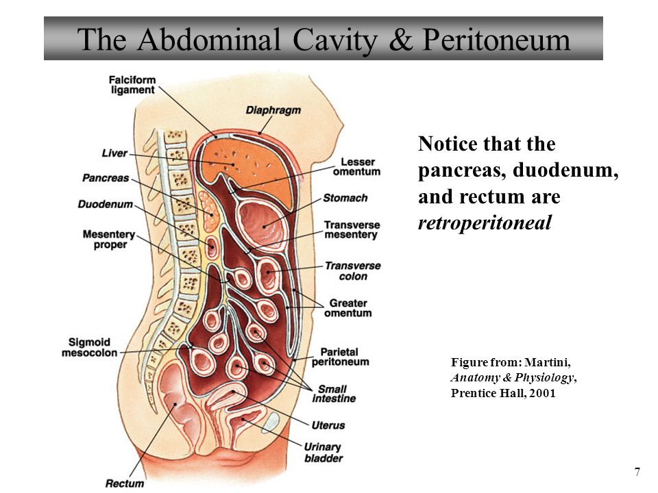 Anatomy and physiology chapter 21 digestive system i ii ppt the abdominal cavity peritoneum ccuart Image collections