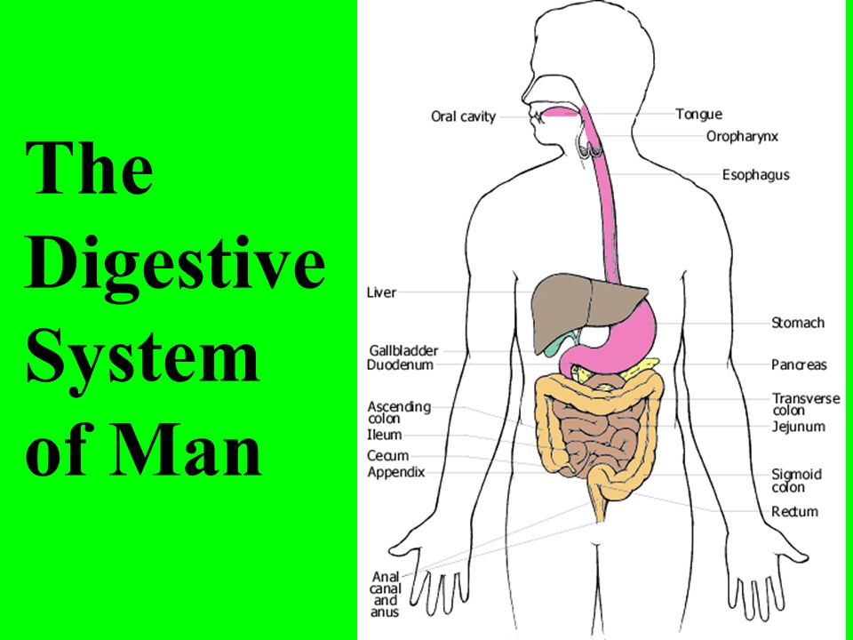 The Digestive System Of Man Ppt Download