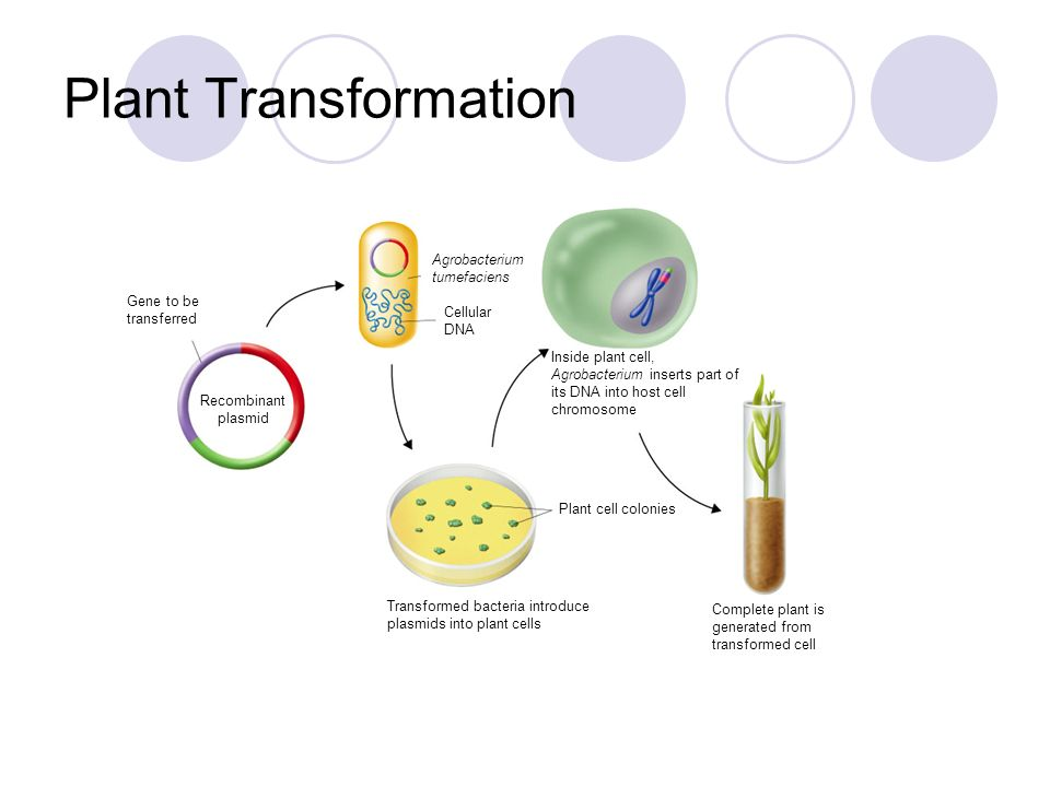 Plant Transformation Agrobacterium tumefaciens Gene to be transferred