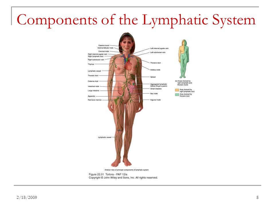 Anatomy Of The Lymphatic System Image collections - human body anatomy