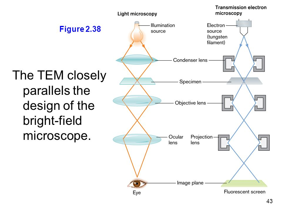 Chapter 2 observing the microbial cell ppt download the tem closely parallels the design of the bright field microscope ccuart Images