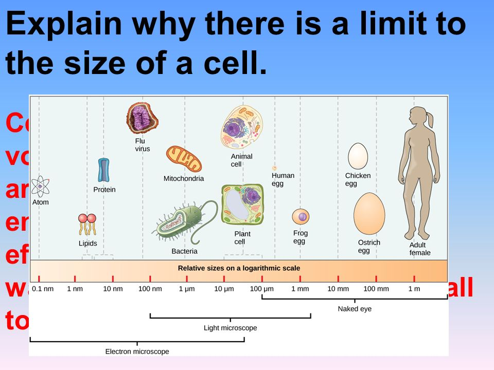 Explain why there is a limit to the size of a cell.