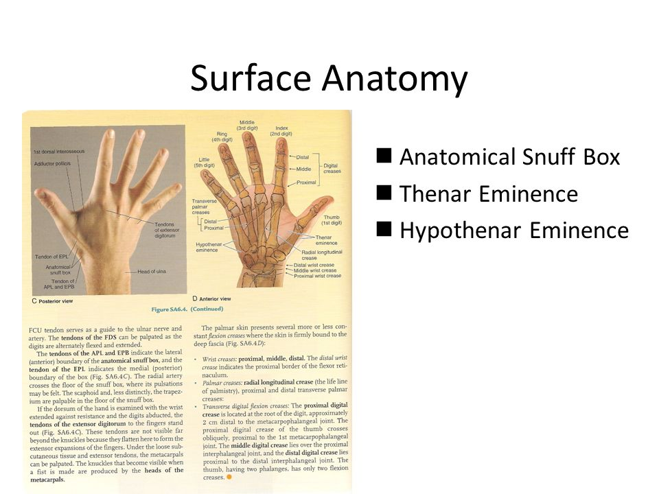 HUMEROULNAR/ELBOW JOINT & HAND - ppt video online download