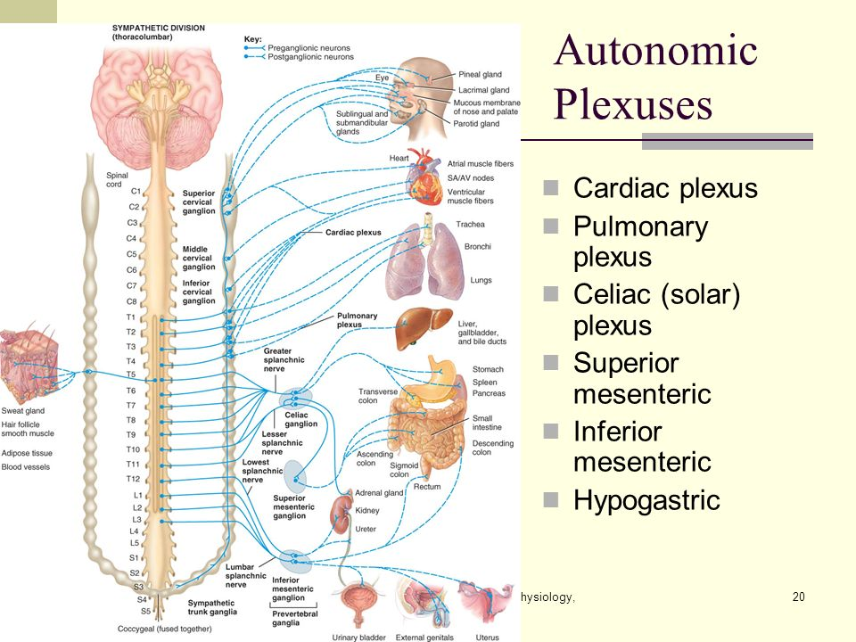 The Autonomic Nervous System Lecture Outline - ppt video online download