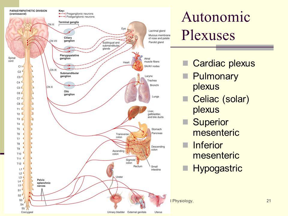 Contemporary Solar Plexus Anatomy Composition Anatomy And