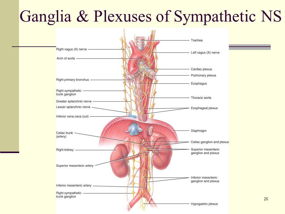 Funky Celiac Plexus Anatomy Pattern Anatomy And Physiology Biology