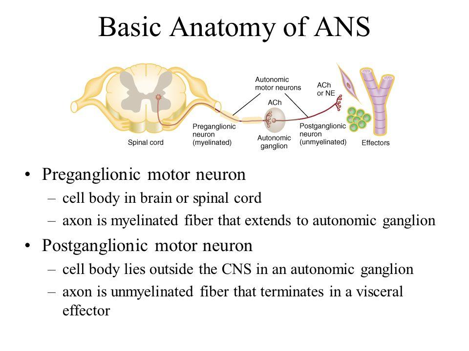 The Autonomic Nervous System - ppt download