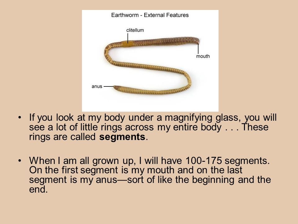 Earthworm Anatomy Ppt Download
