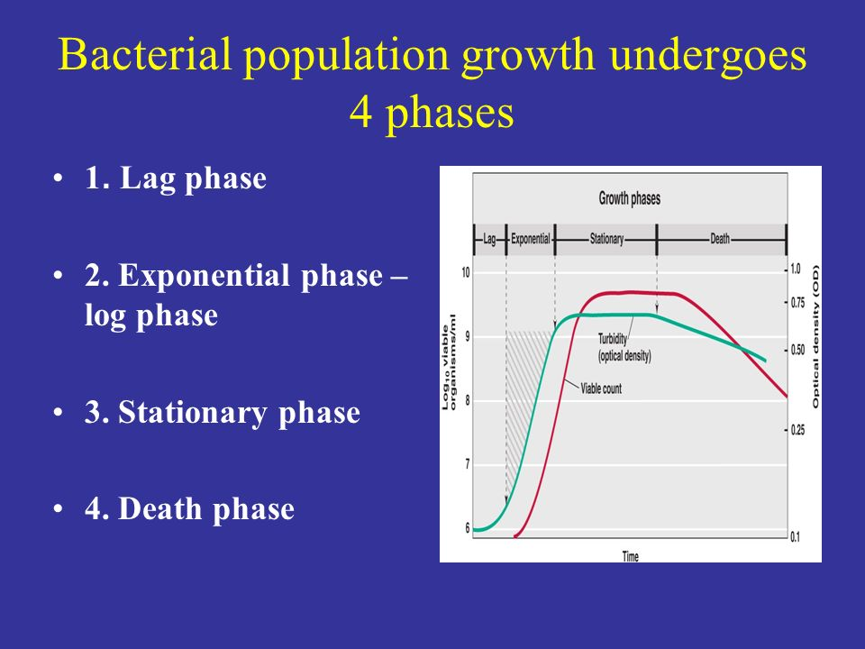 Bacterial population growth undergoes 4 phases