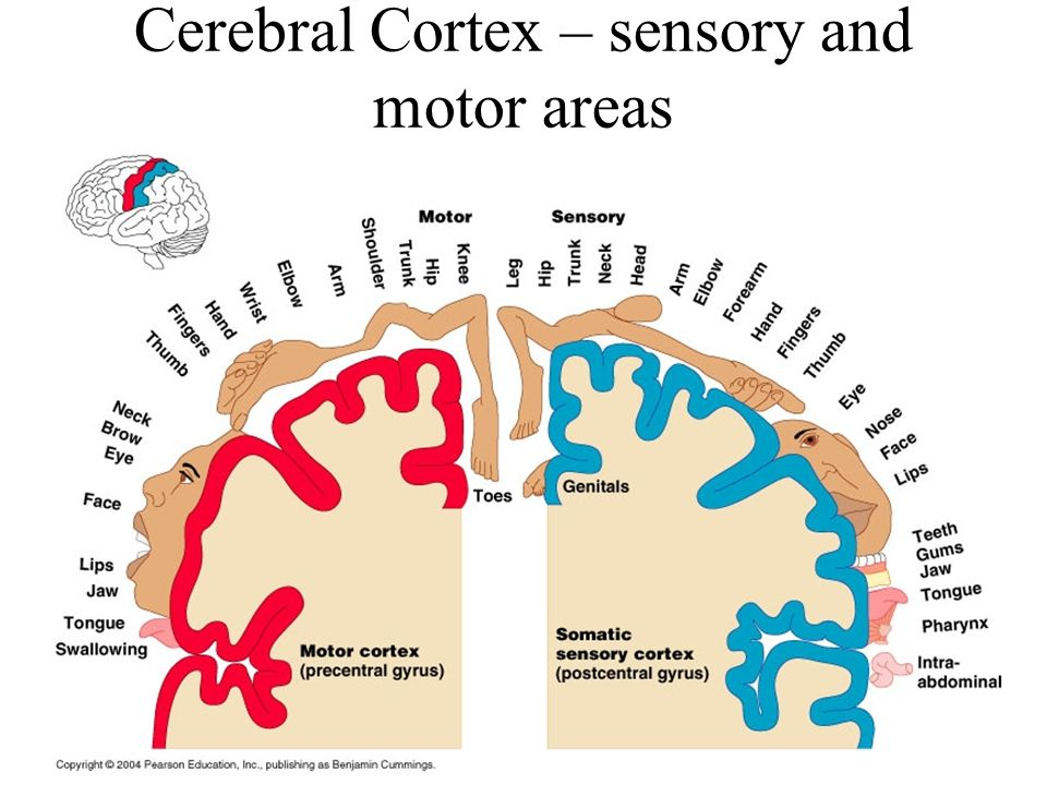 Cerebral Cortex – sensory and motor areas
