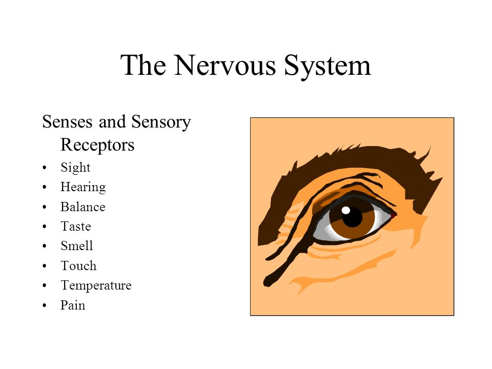 The Nervous System Senses and Sensory Receptors Sight Hearing Balance