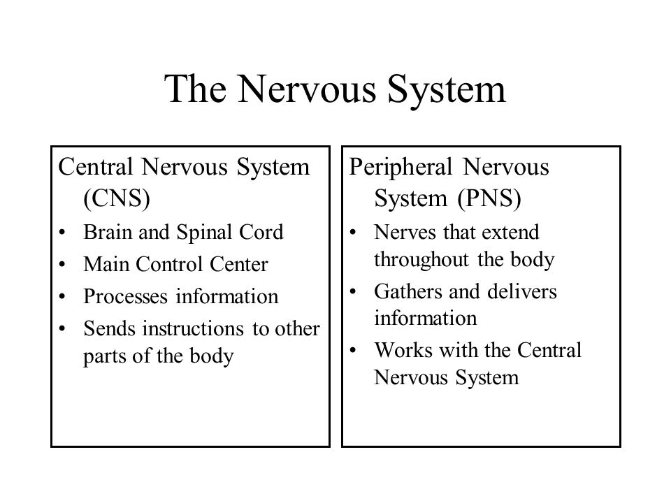 The Nervous System Central Nervous System (CNS)